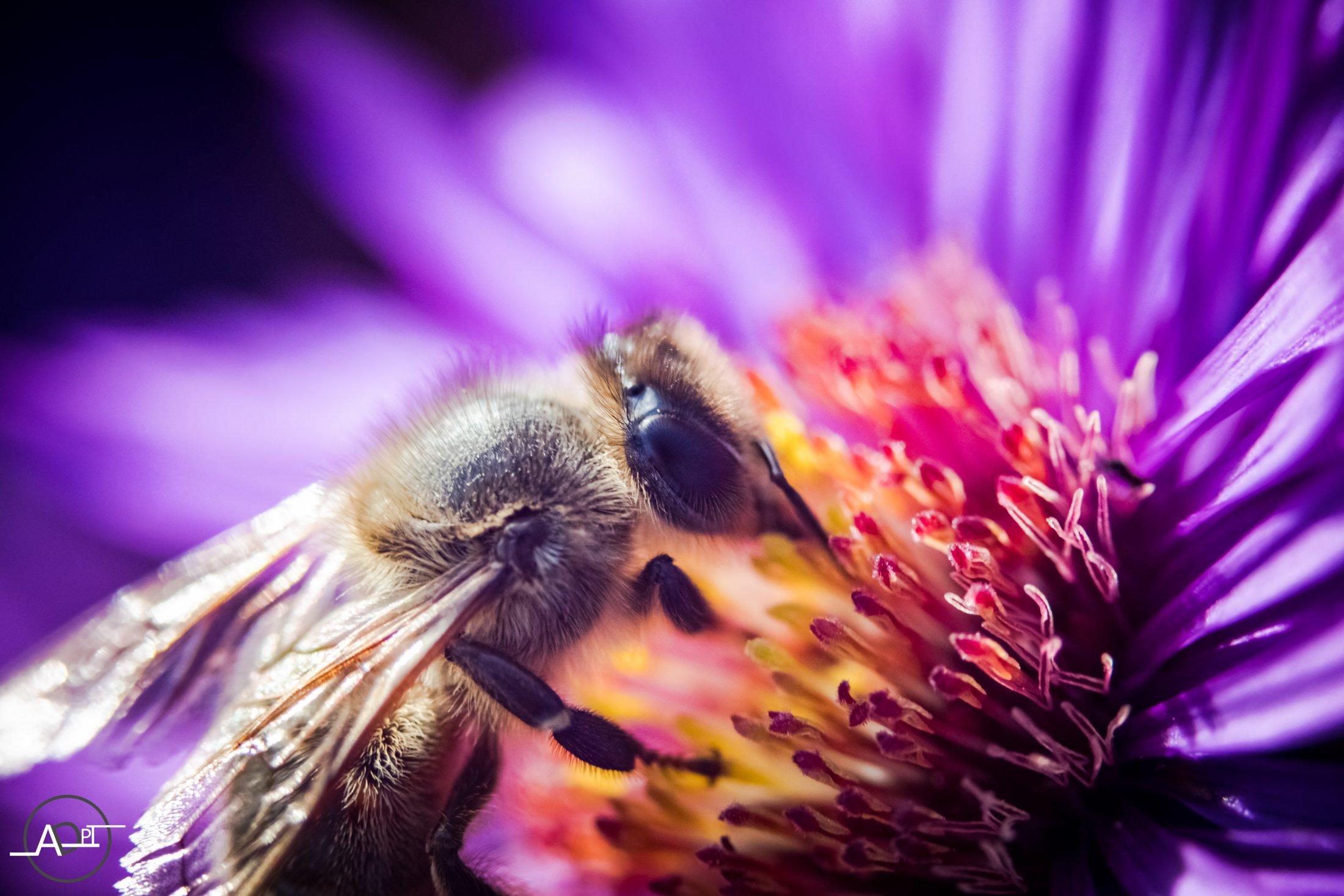 Bee On A Purple Rose