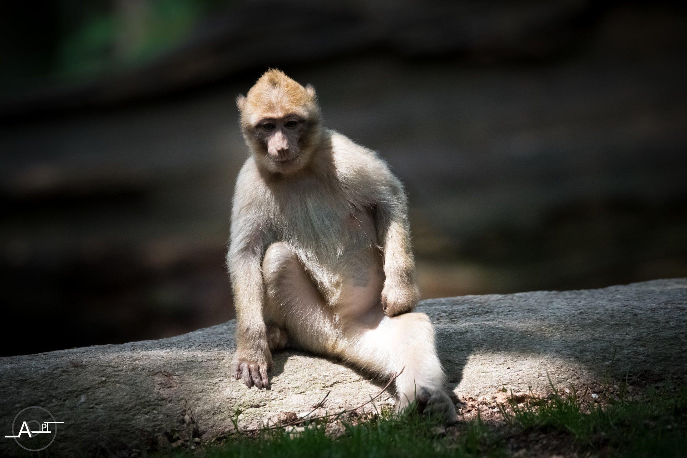 Macaque Pensif