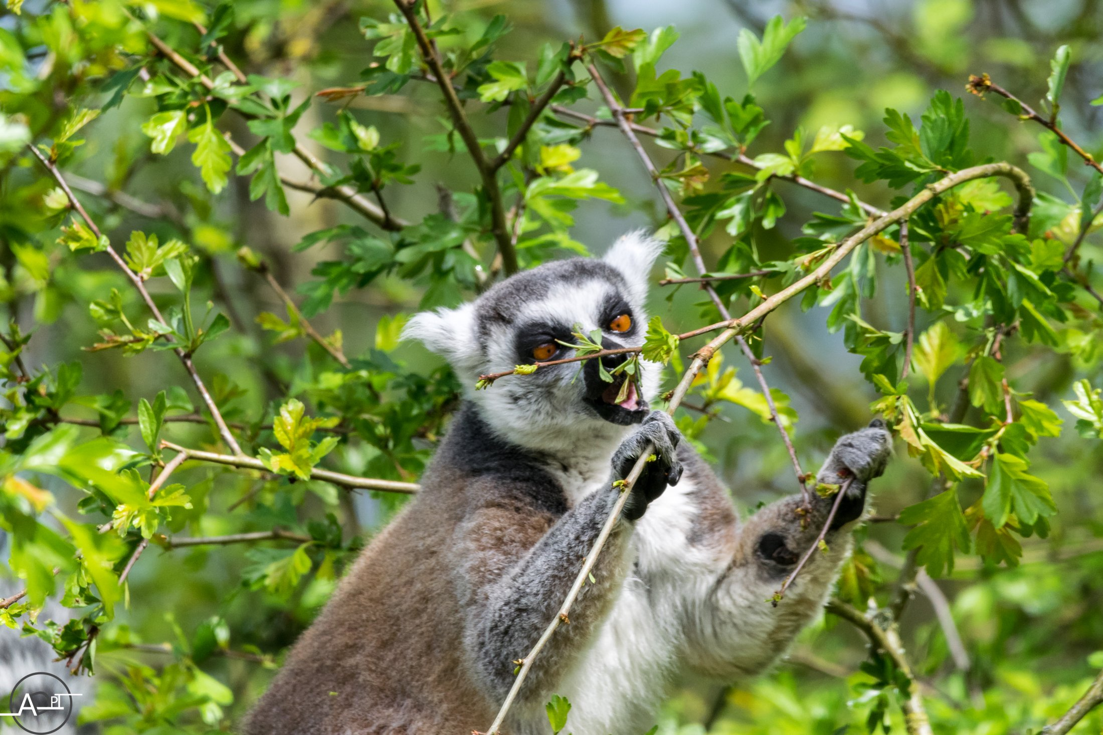 Gourmet Lemur Catta