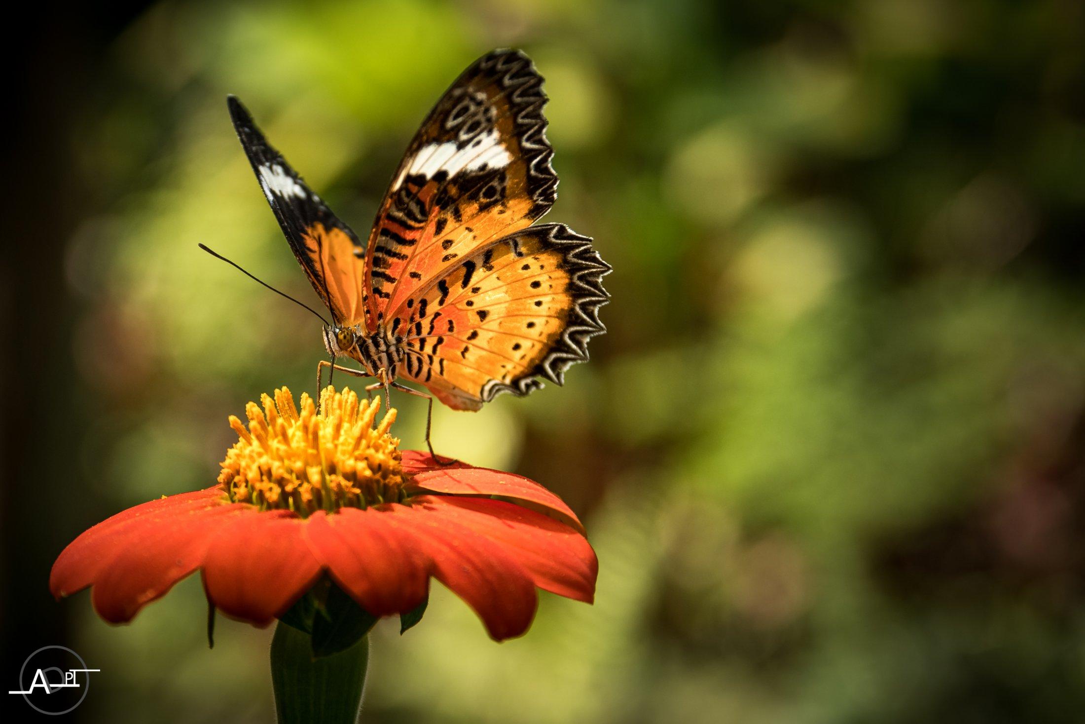 Papillon Cambodge