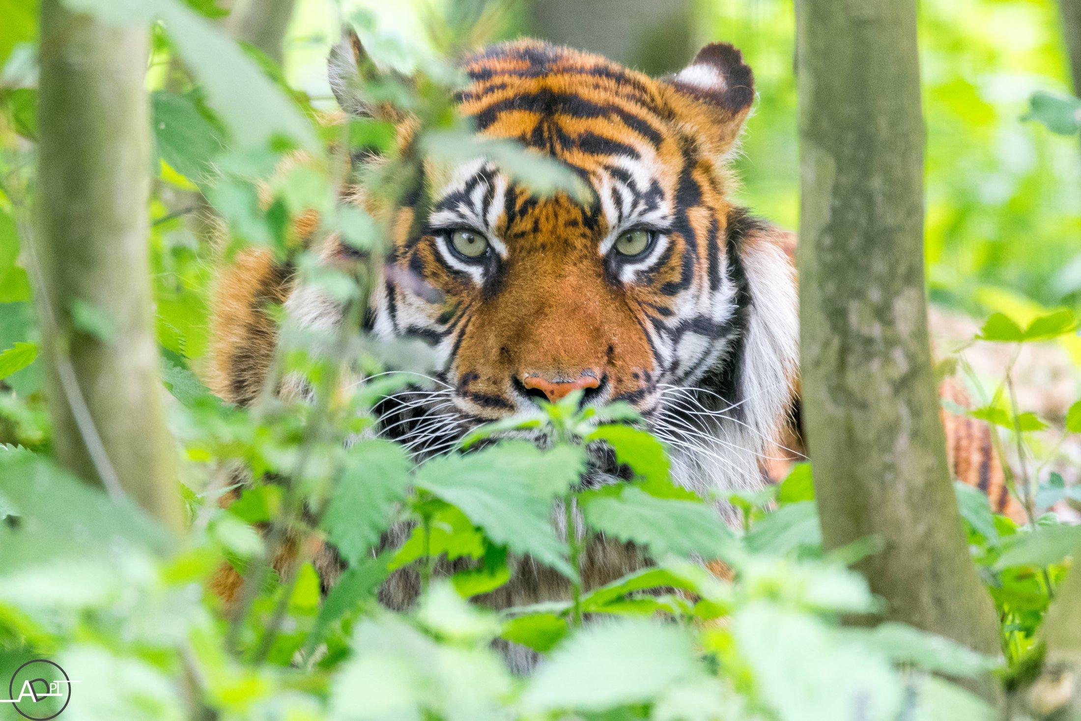 Tiger - Banda