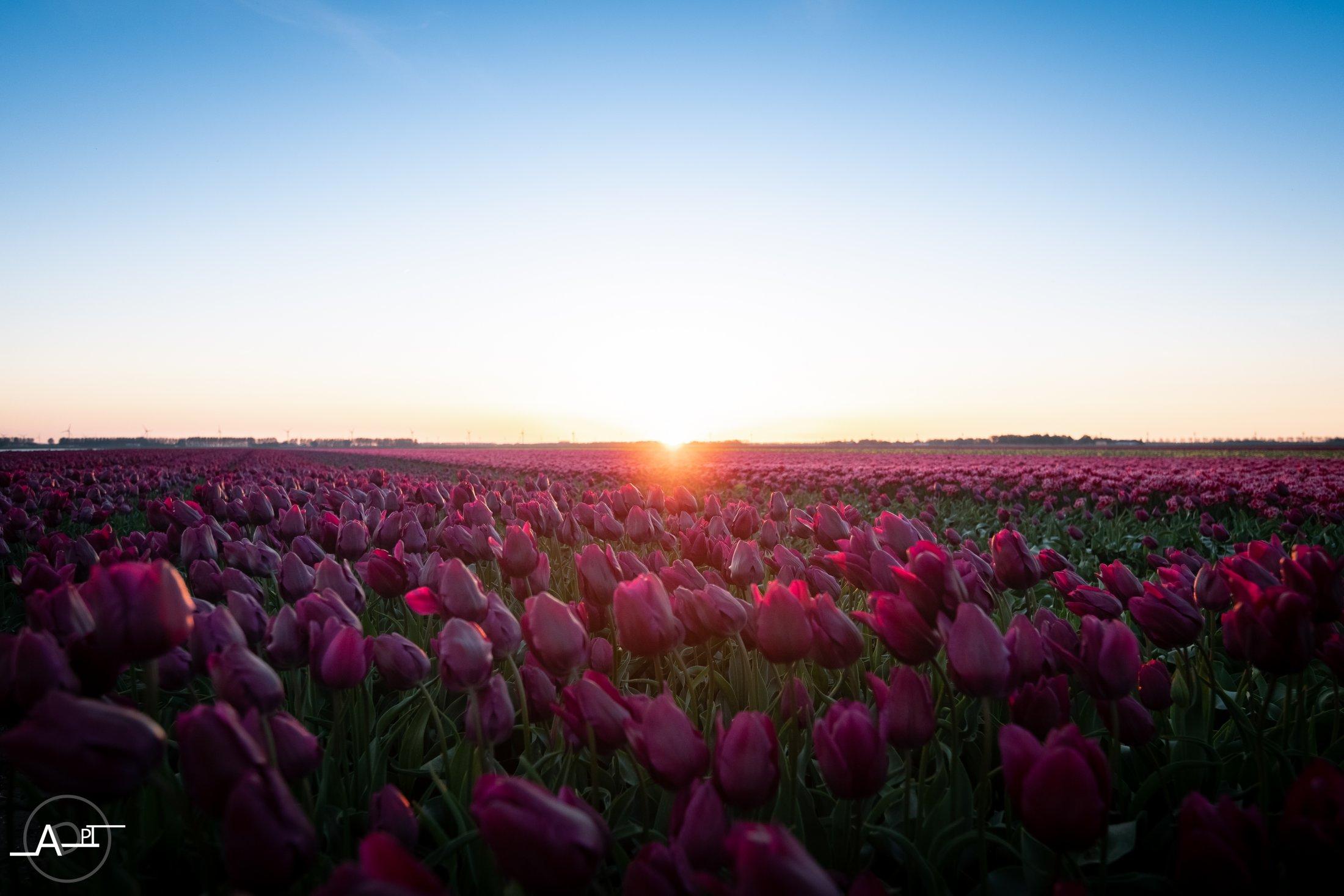 Tulipes & Couché De Soleil